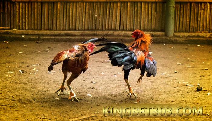 Sabung Ayam S128 Terpercaya