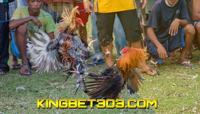 Daftar Sabung Ayam Live